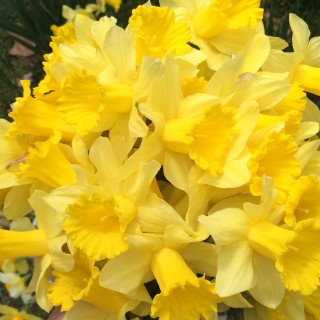 More lovely Daffodils!